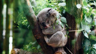 Photo of En estudio el agregar al koala a la lista de animales en peligro de extinción.