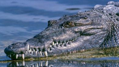 Photo of Cocodrilo devora a sujeto que nadaba en laguna de Tampico