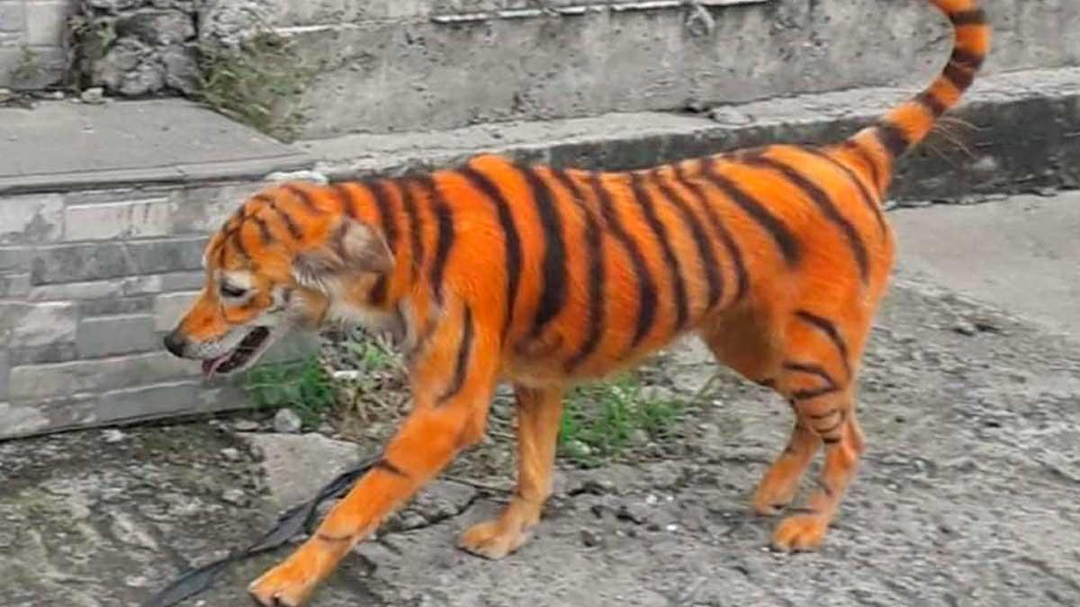 Perro pintado de tigre