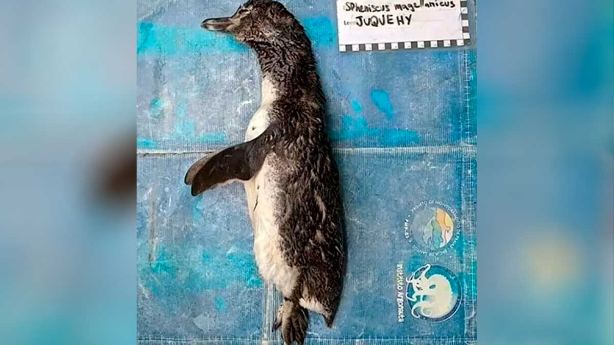 Pinguino muere por ingerir cubrebocas
