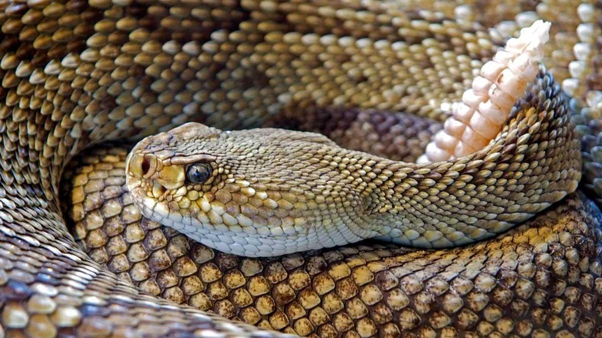 Serpiente cascabel