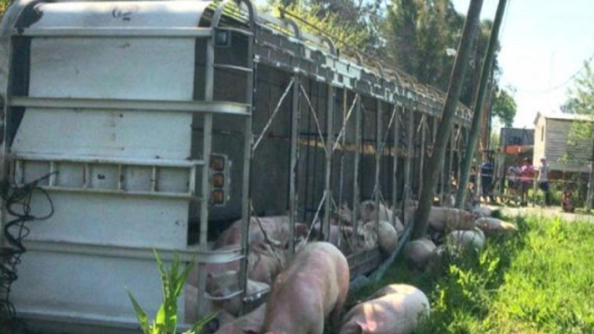 Camion de cerdos se volca