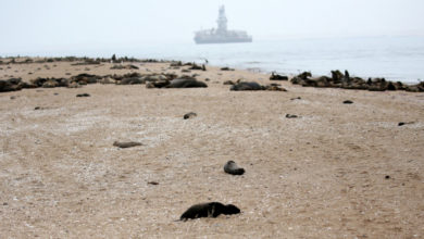 Photo of Misteriosamente, hallan miles de crías de focas muertas en Namibia