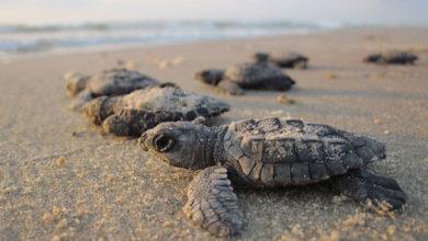 Photo of Nacen miles de tortugas en playas de Sonora