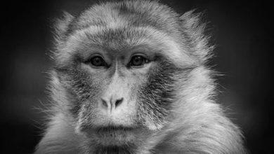 Photo of Por pruebas para la vacuna de COVID-19, se están acabando los monos