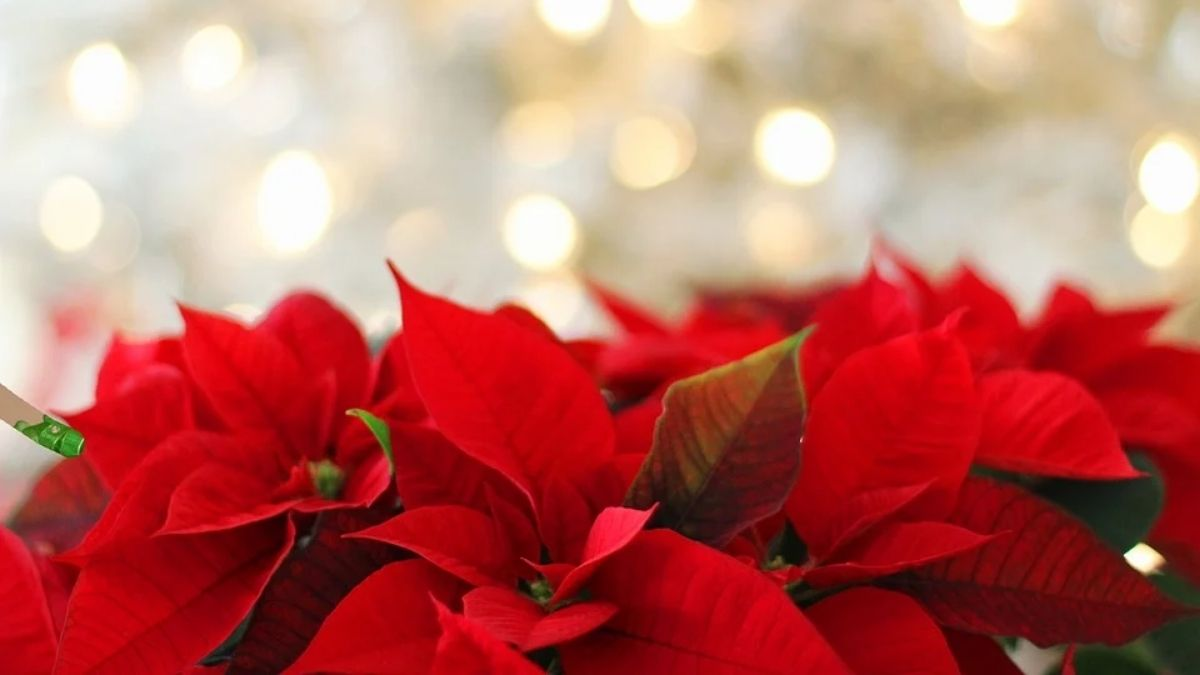 Nochebuenas