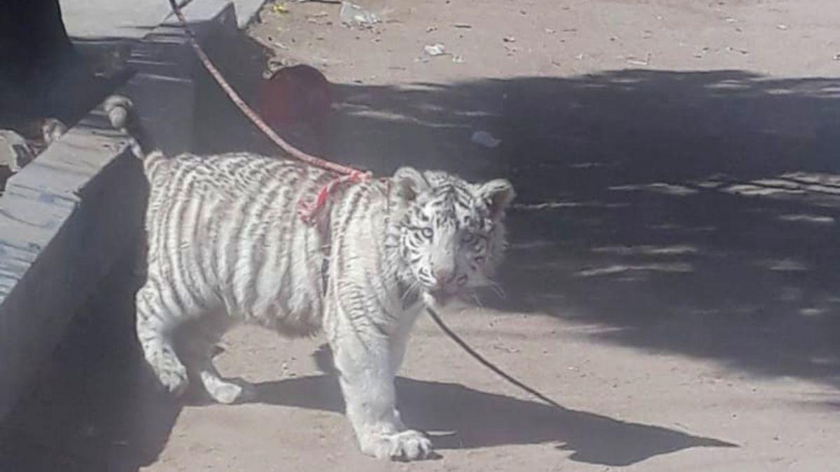 Cachorro tigre blanco