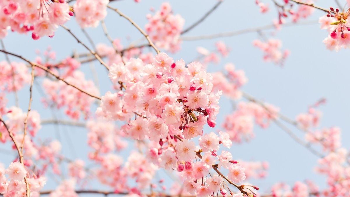 Floracion cerezos japoneses