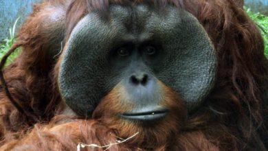 Orangutan Toto