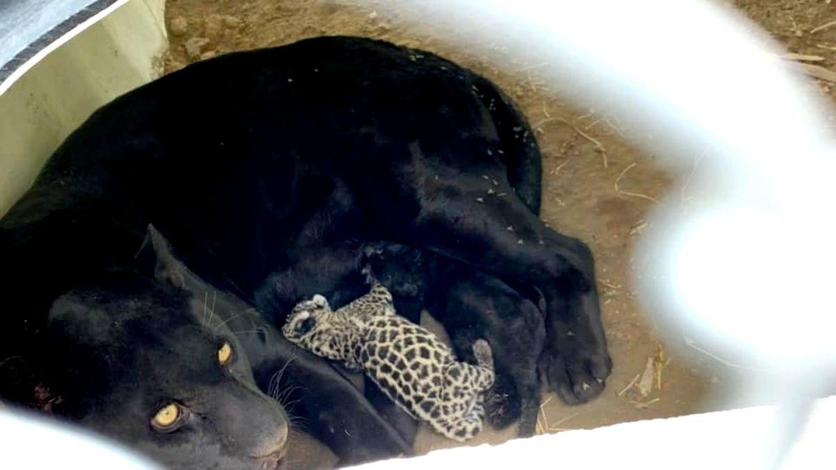 Bebe jaguar