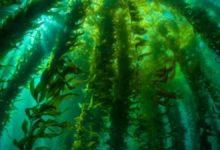 Bosque de algas