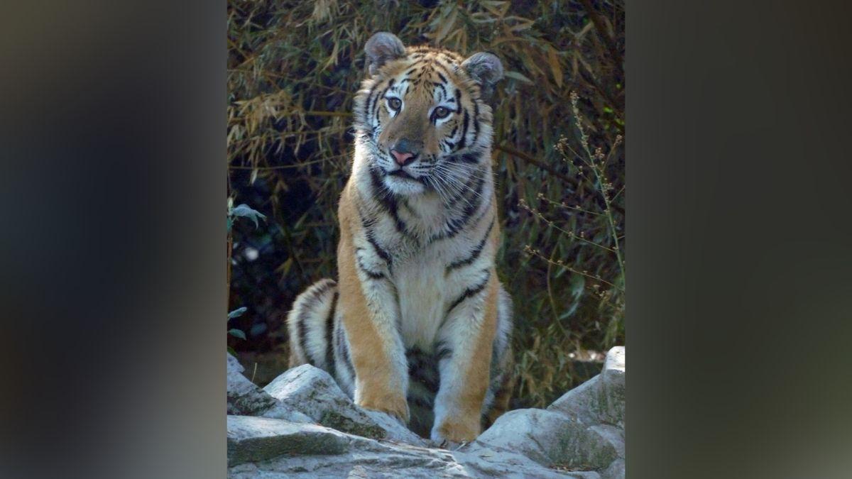 Tigresa bebe