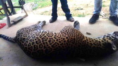 Jaguar envenenado Oaxaca