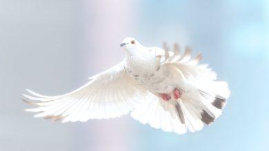 Paz paloma blanca