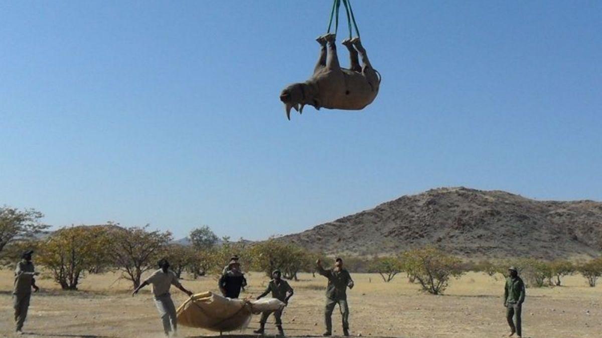 Recolocacion de rinoceronte